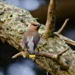 cedar waxwings May 20