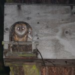 barn owls return to the city