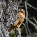 red-shouldered hawk mating