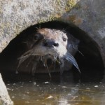 Sutro Sam the river otter